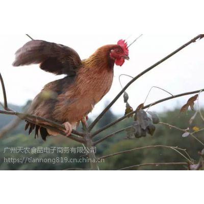 天农食品-散养清远麻鸡肌肉结构紧,油脂少,上口香