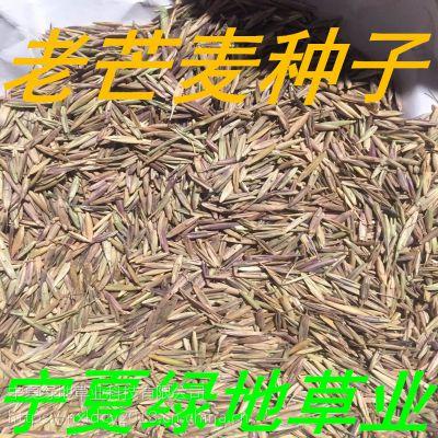 批发牧草种子【老芒麦种子】 量大从优 牛羊饲料 新货价廉物美