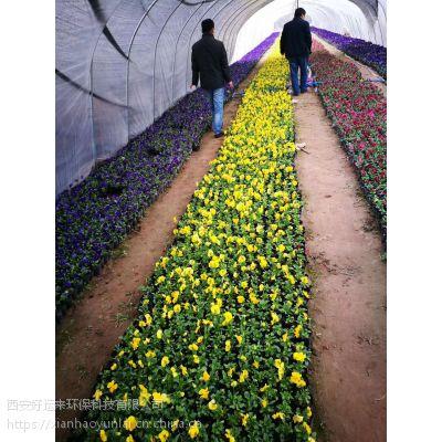 供应早春草花三色堇,优质混播草皮