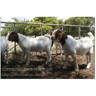 波尔山羊育肥绝招