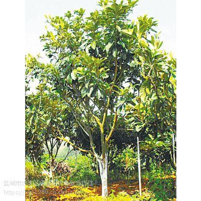 盐城枇杷树价格 3公分枇杷树供应