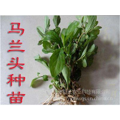 批发野生马兰头种苗 野菜多年生马兰头种子鸡儿肠 路边菊 蔬菜种子