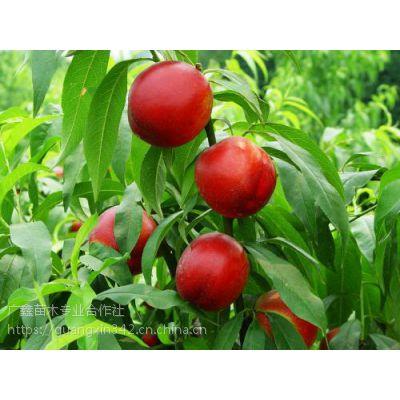 代购出售各种桃子 中油4号油桃 中油8号油桃 9号毛桃 中油2号油桃
