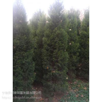 蜀桧/圆柏。树形优美适应与庭院行道树种植。