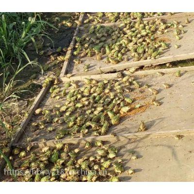 江苏黑斑青蛙养殖基地 18912095228 青蛙种苗 黑斑蛙种苗