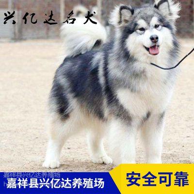 嘉祥县兴亿达健康阿拉斯加犬小奶狗销售