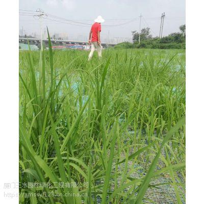四川三水园林专业批发高羊茅草种蓝标与白标的区别