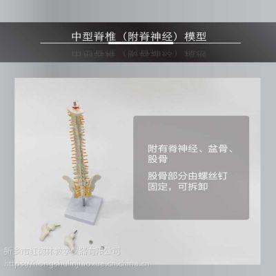 中型脊椎带腿骨模型45CM中型脊椎脊椎模型