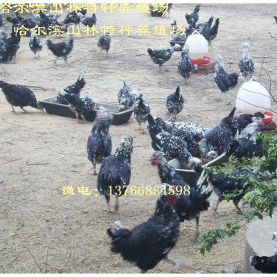 双鸭山贵妃鸡养殖、贵妃鸡雏、