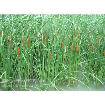 供应水生植物香蒲