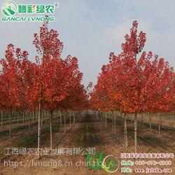 批发零售美国红枫系列 红点红枫 夕阳红枫 两年美国红枫大苗 上工程绿化树