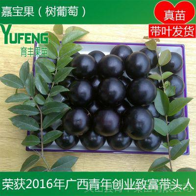 台湾嘉宝果树 树葡萄 盆栽地栽嘉宝果树木 南方北方种植水果树