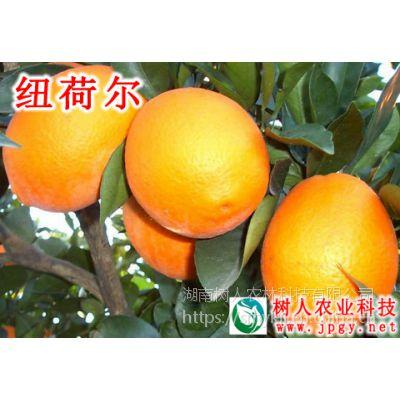 湖南纽荷尔脐橙苗木基地果园非常好的脐橙品种