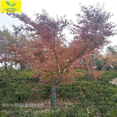 日本红枫树价格 绿化行道树 落叶乔木