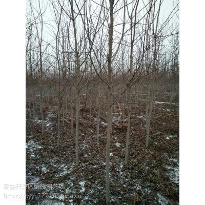供应6公分7公分8公分10公分12公分美国红枫 杆直帽圆 树形优美