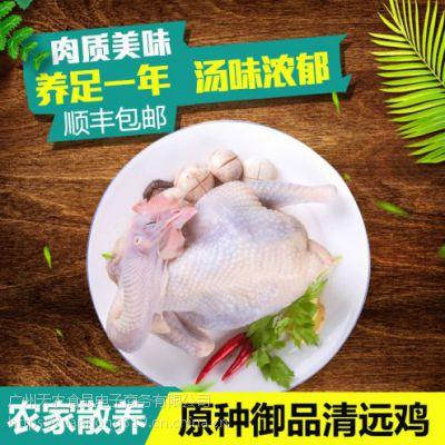天农食品-散养的清远鸡羽毛结构紧凑