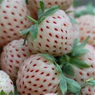 批发草莓苗 优质草莓苗 盆栽地栽苗 南北方种植 苗高20-30cm 价格实惠