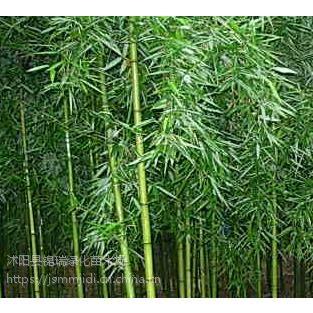 刚竹批发基地 出售高度3米4米5米刚竹 现挖现卖成活率高