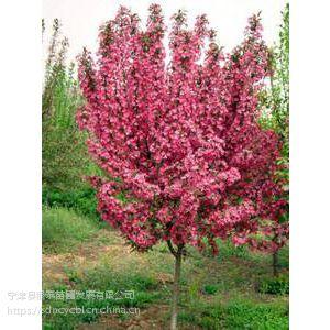 红宝石海棠观赏效果好,生长快,繁殖简单,适应性强,是城市优良彩叶配置树种。