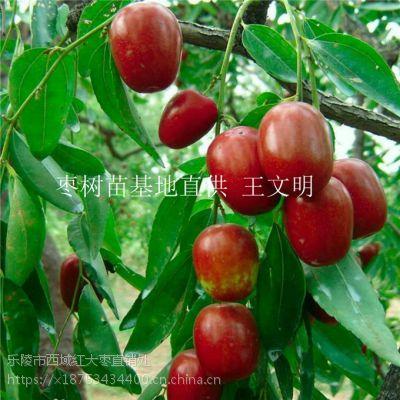 大规模金丝小枣树苗基地现货保成活