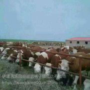 东北肉牛行情东北肉牛犊价格东北肉牛网东北肉牛市场东北肉牛基地东北肉牛品种东北肉牛犊哪里价格***低