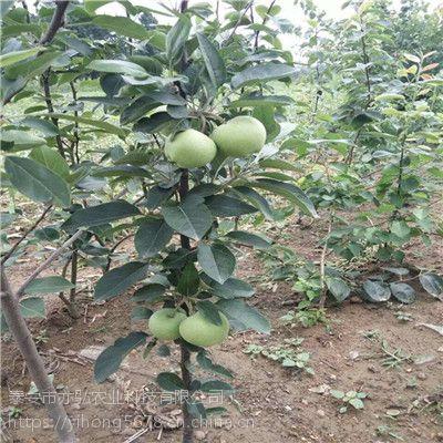 苹果苗品种推荐 黑钻苹果苗