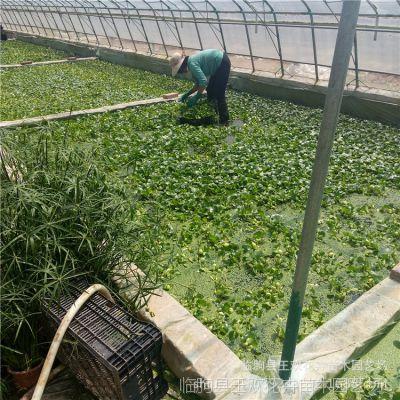 供应水葫芦 山东青州优质水葫芦 水生植物  睡莲  荷花