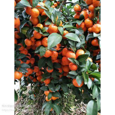 橘树生根叶面肥 矮壮植株光碳核肥控旺剂