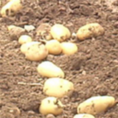 圣鲁牌芋头收获机 手扶配套红薯收获机