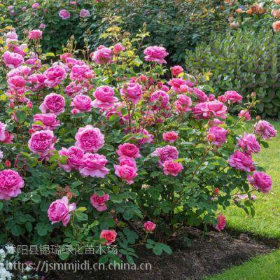 江苏蔷薇种植基地 一二年生多花蔷薇苗低价批发