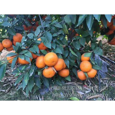 柑橘种植产业品种选择无核沃柑品质***稳定售价糖度高