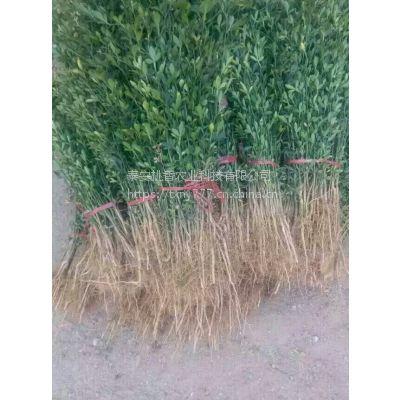 山东枳壳苗,0.4公分枳壳苗价格