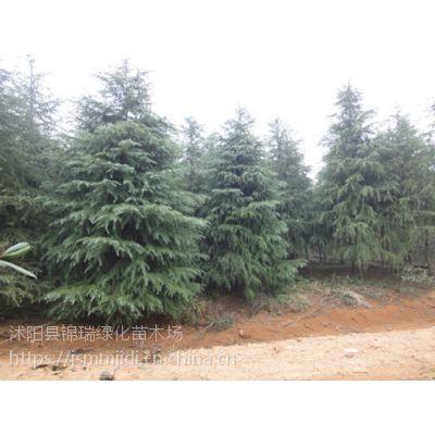 江苏雪松基地 4米高雪松价格便宜树形好