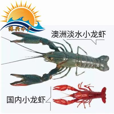 澳洲龙虾种苗淡水龙虾种苗批发广东龙虾种苗批发价格