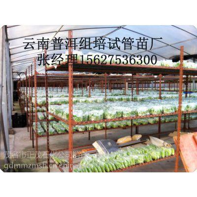 南天黄香蕉组培苗厂家丨出售一级袋苗丨二级杯苗抗黄叶病香蕉苗