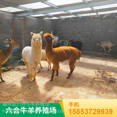 特种咖啡色羊驼 羊驼节日庆典拍照 养殖场租赁