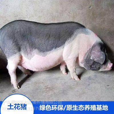 流沙河宁乡土花猪野生散养种猪精排瘦肉价格合理欢迎选购