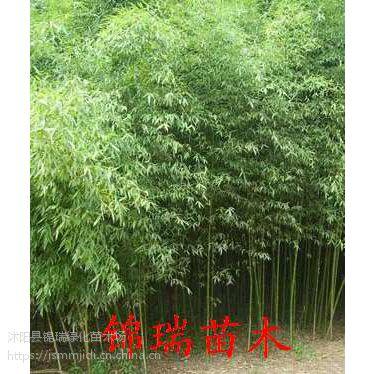 江苏早园竹批发市场 报告1米2米3米高早园竹价格