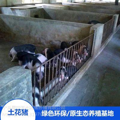 湖南宁乡土花猪生态野生供应 花猪宝宝猪肉做法大全厂家价格