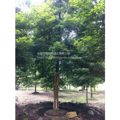 20公分楠木(金丝楠木)、小叶桢楠正宗树木出售,四川小叶桢楠苗木基地