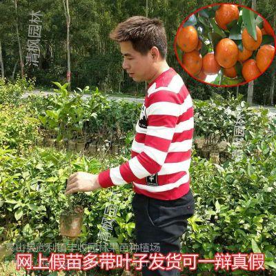 小榄大量供应沙糖橘苗批发嫁接果树13877713093