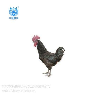 英菲耐特野生态山养绿壳蛋鸡 无抗鸡1000g袋装 诚招全国代理商