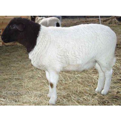 杜泊羊育肥专用预混料