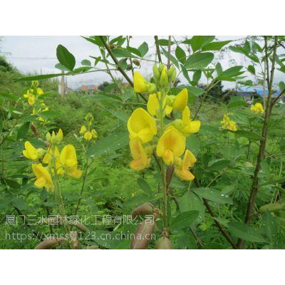 四川三水园林供应成都青羊区灌木种子多花木兰厂家特价特发