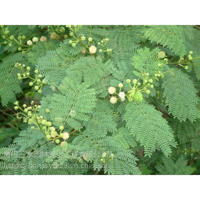 四川三水园林灌木乔木种子供应商成都刺槐多少钱一斤