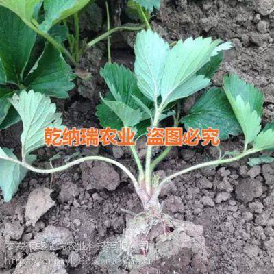 红颜草莓苗栽培、吉林红颜草莓苗、乾纳瑞农业科技(在线咨询)