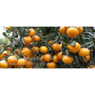 大量柑橘苗批发_哪里有好的柑橘苗基地_柑橘苗基地销售