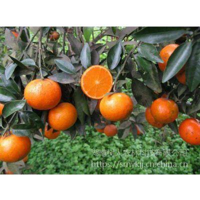 供应广西云南柑橘产地正宗无核沃柑苗果园母本园柑橘苗木基地直销
