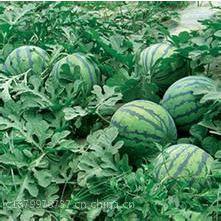 山东万亩西瓜产地大量上市了京欣西瓜价格