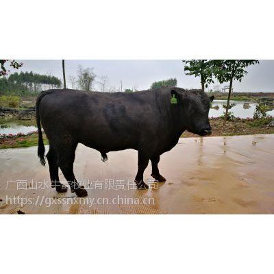 广西牛架子西门塔尔牛安格斯养殖屠宰供给